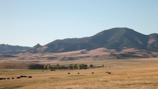 vídeos y material grabado en eventos de stock de ws view of black angus cows walking across golden grass prairie with mountains in background / great falls, montana, united states - montana