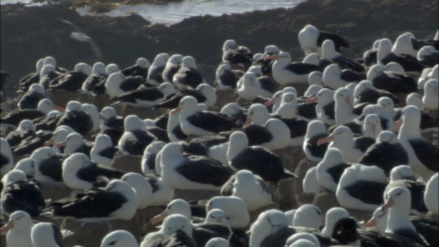 WS PAN View of Black browed albatross (Thalassarche melanophrys) colony / Steeple Jason Island, Falkland Islands