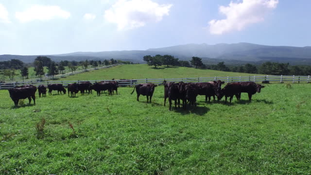View of black cows at pasture in Jejudo Island