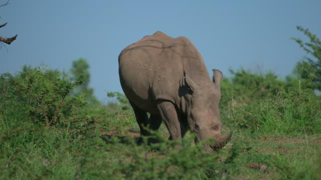 WS SLO MO View of Black Rhino grazing / Pilanesberg, Gauteng, South Africa