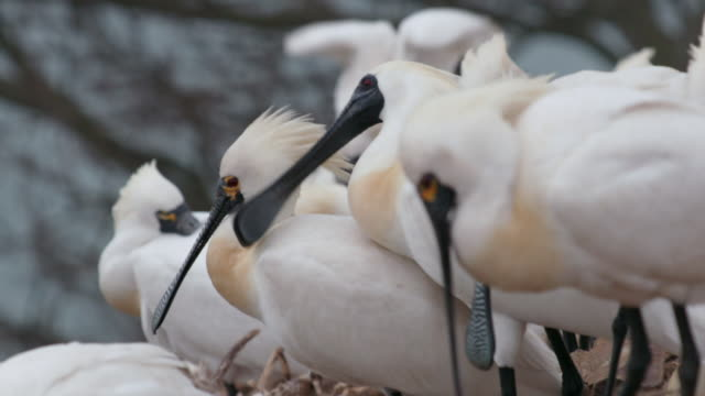 view of blackfaced spoonbill (platalea minor) during the breeding season in ongjin-gun (natural habitat for endangered birds), incheon - becco video stock e b–roll