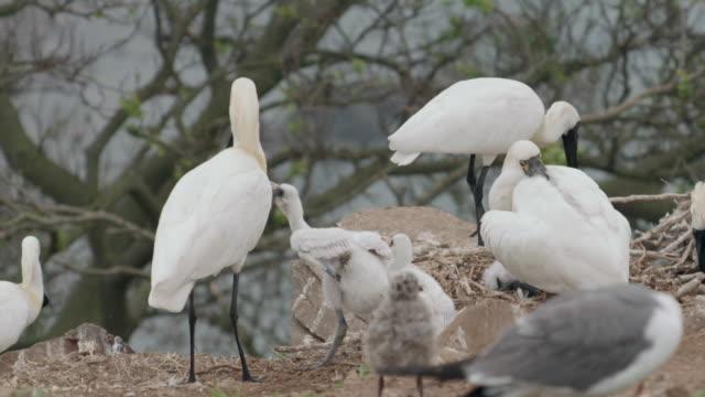 View of Blackfaced spoonbill (Platalea minor) feeding its baby in Ongjin-gun (Natural habitat for endangered birds), Incheon