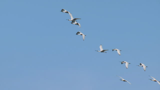 view of blackfaced spoonbill (platalea minor) flying in ongjin-gun (natural habitat for endangered birds), incheon - バードウォッチング点の映像素材/bロール