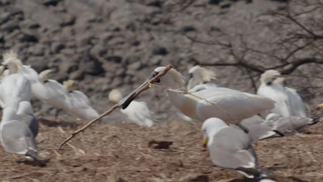 View of Blackfaced spoonbill (Platalea minor) gathering straw in Ongjin-gun (Natural habitat for endangered birds), Incheon