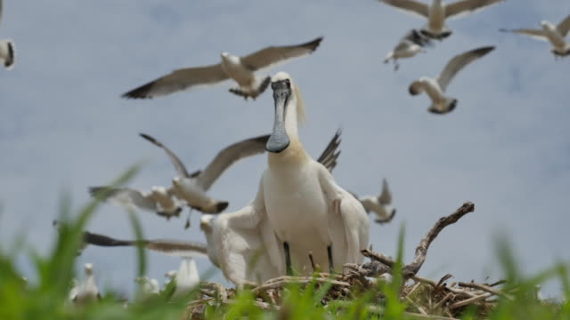 view of blackfaced spoonbill (platalea minor) on the nest in ongjin-gun (natural habitat for endangered birds), incheon - colony group of animals stock videos & royalty-free footage