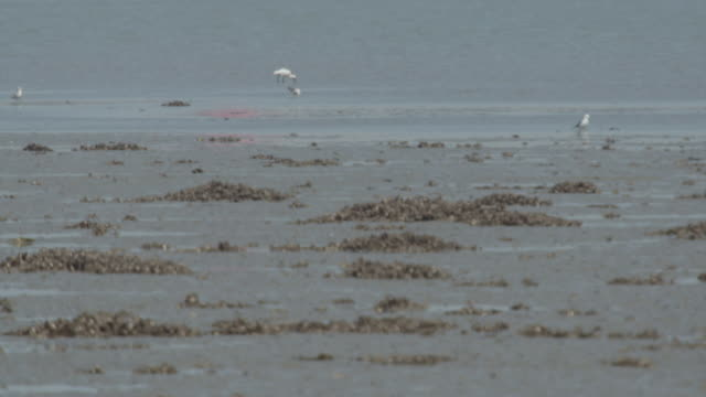 View of Black-tailed Gull and Blackfaced spoonbill (Platalea minor) on the seashore in Ongjin-gun (Natural habitat for endangered birds), Incheon