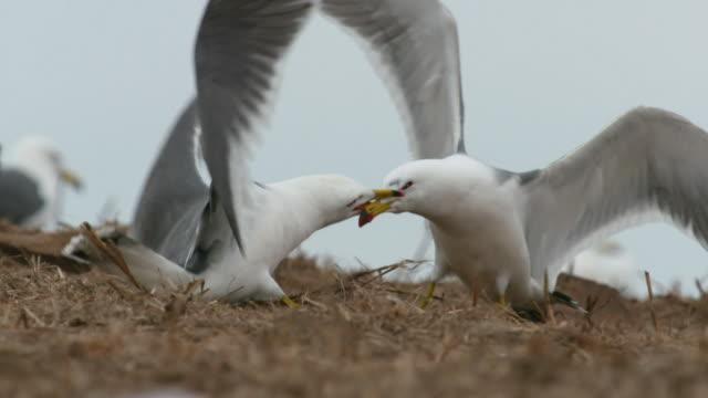 View of Black-tailed Gull fighting in Ongjin-gun (Natural habitat for endangered birds), Incheon
