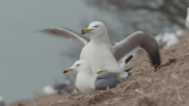 View of Black-tailed Gull mating during the breeding season in Ongjin-gun (Natural habitat for endangered birds), Incheon