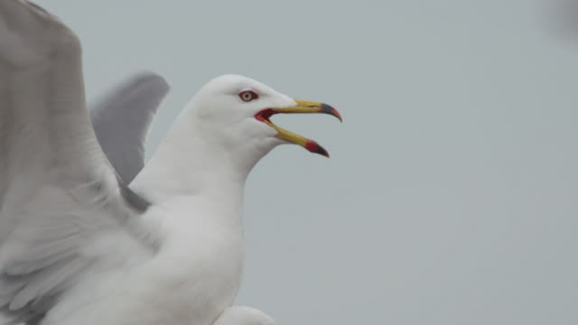 stockvideo's en b-roll-footage met view of black-tailed gull mating during the breeding season in ongjin-gun (natural habitat for endangered birds), incheon - meeuw