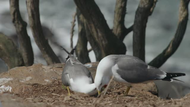 View of Black-tailed Gull mating in Ongjin-gun (Natural habitat for endangered birds), Incheon