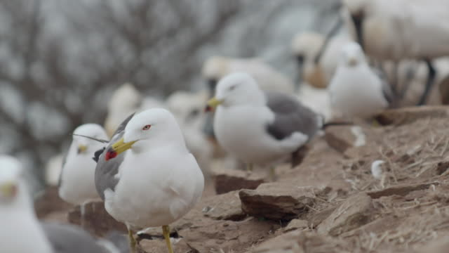 vidéos et rushes de view of black-tailed gulls and blackfaced spoonbills (platalea minor) in ongjin-gun (natural habitat for endangered birds), incheon - caillou
