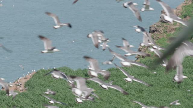View of Black-tailed Gulls flying in Ongjin-gun (Natural habitat for endangered birds), Incheon