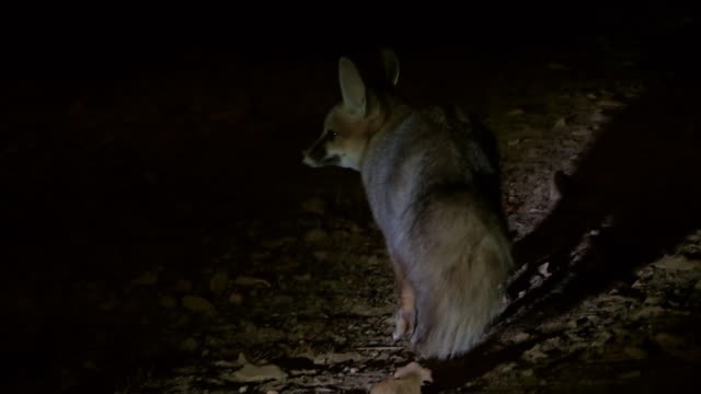 MS TS View of Blanford fox (Vulpes cana) looking for food on dark night / eilat, negev desert, Israel