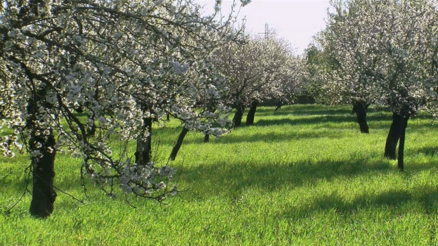 WS View of blloming almond trees on grass covered field / Majorca, Balearic Islands, Spain
