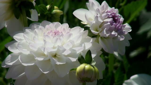 cu view of bloom white dahlia / koblenz, rhin bloomeland-palatin bloomate, germany - ダリア点の映像素材/bロール