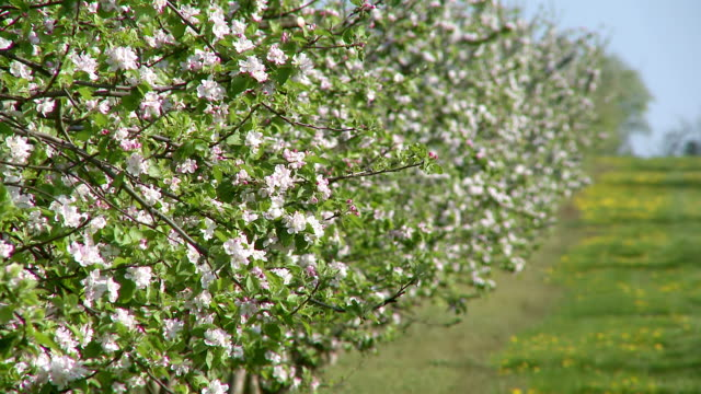 MS View of Blooming apple trees at plantation / Kirf, Rhineland Palatinate, Germany