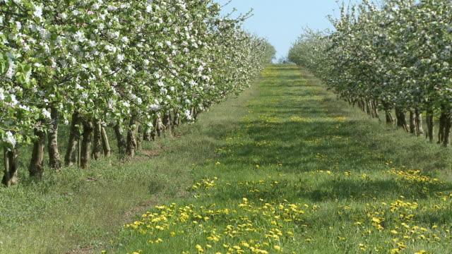 MS View of blooming apple trees / Kirf, Rhineland-Palatinate, Germany