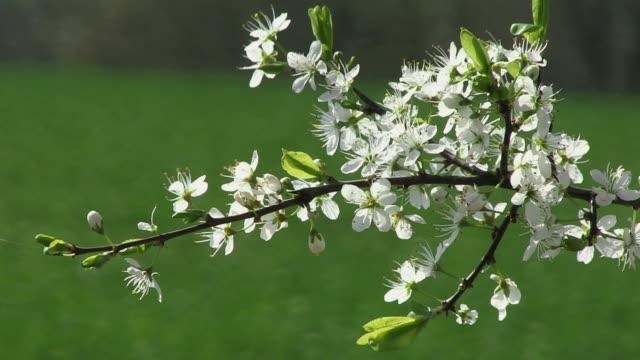 vídeos y material grabado en eventos de stock de ms view of blooming sour cherry tree branch / kastel-staadt, rhineland-palatinate, germany - pistilo