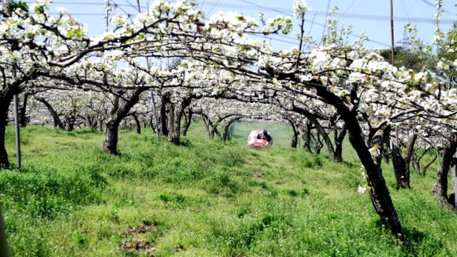 View of blossoms on pear tree in Pear Orchard