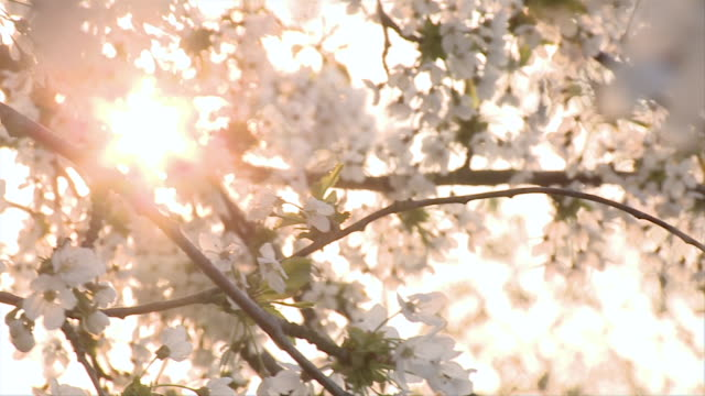 MS PAN View of Blossoms on tree / Brandenburg, Germany