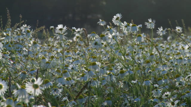 ms view of blowing chamomile flowers / denmark - pollen stock videos & royalty-free footage