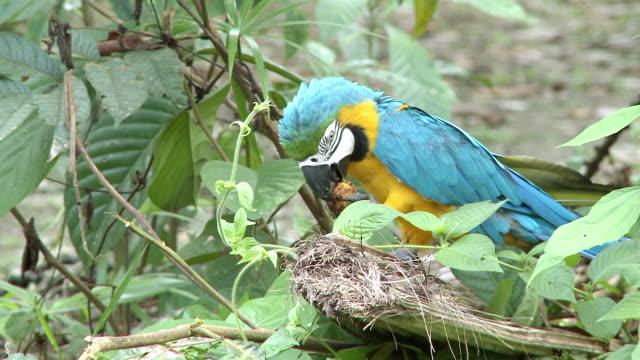 ws view of blue and yellow macaw [ara ararauna] eating fruit / peruvian amazon, peru - ara bildbanksvideor och videomaterial från bakom kulisserna