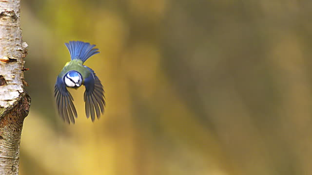 ws slo mo view of blue tit and great tit flight / calvados, normandy, france - uccello video stock e b–roll