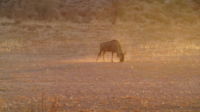ws ts view of blue wildebeest grazing in savannah / etosha national park, namibia - 乾燥気候点の映像素材/bロール