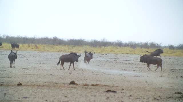 WS TS View of Blue Wildebeests chasing each other / Etosha National Park, Namibia