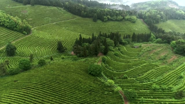 View of Boseong green tea fields in Jeollanam-do, South Korea