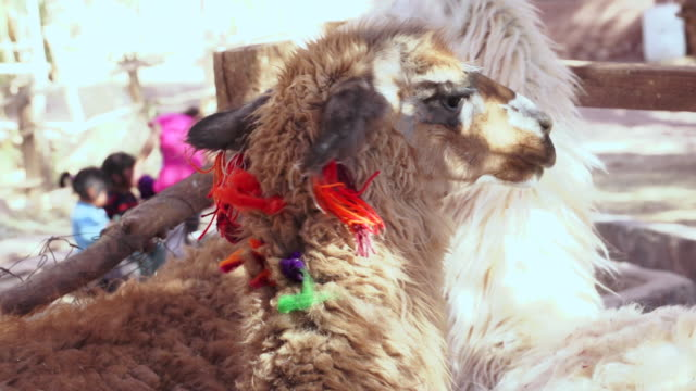 ms view of brown llama with ribbons in fur and ears / angostura, chile - wiese stock videos & royalty-free footage