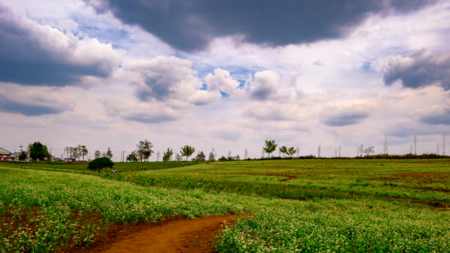 View of buckwheat flower at Borinara Hagwon Farm (Largest barley field in Korea)