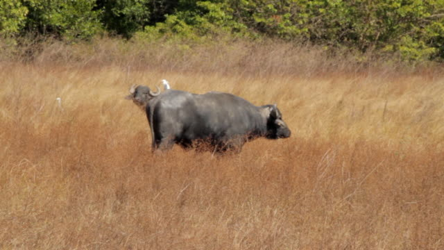 vidéos et rushes de ms ts view of buffalo moving in field / northern territory, australia - wiese