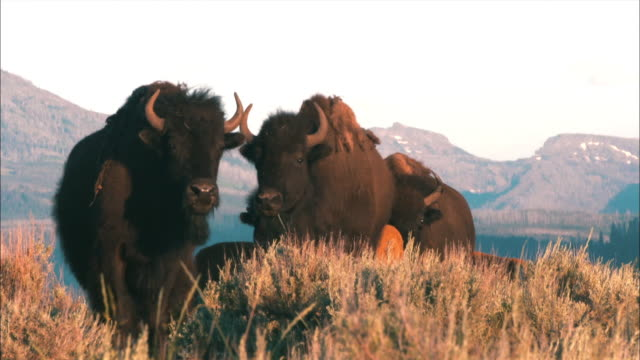 view of buffaloes at yellowstone national park - yellowstone national park stock videos & royalty-free footage