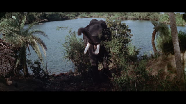 ms view of bull elephant standing with trunk raising - レターボックス点の映像素材/bロール