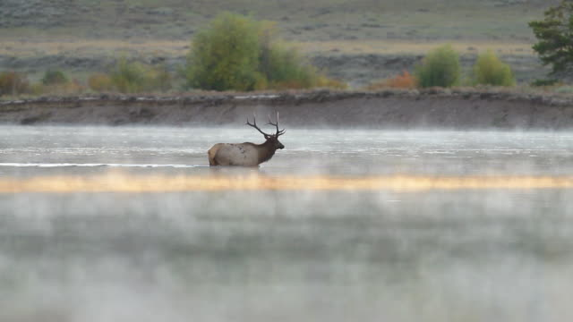 WS TS View of bull elk crossing Snake River at sunrise / Tetons, Wyoming, United States
