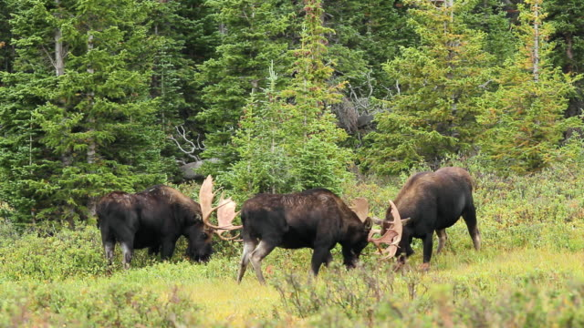 WS View of bull moose sparring as rut commences / Ward, Colorado, United States