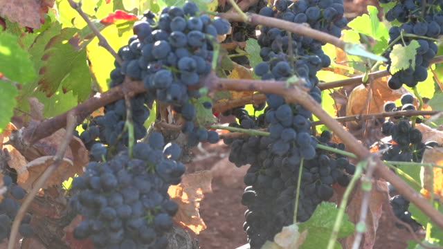 view of bunches of red grapes hanging on the vine. - viniculture stock videos & royalty-free footage