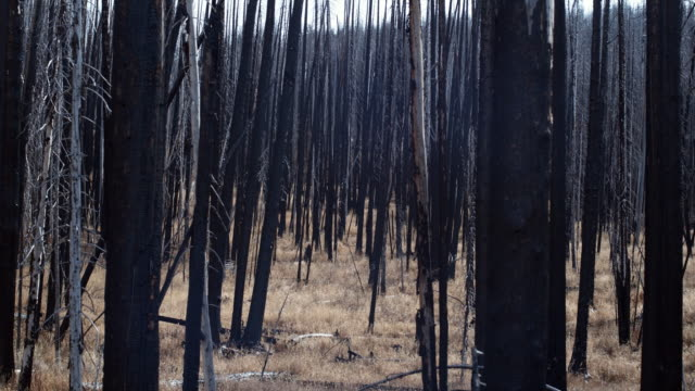 ws view of burnt trees in yellowstone national park / wyoming, usa. - burnt stock videos & royalty-free footage