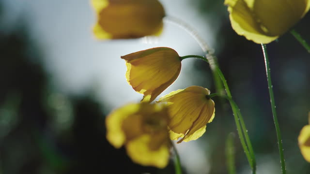 MS SLO MO View of buttercups flower / various, United Kingdom