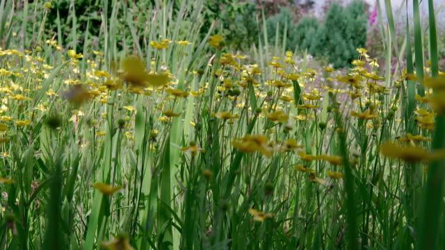vídeos y material grabado en eventos de stock de ms pan view of buttercups plant / various, united kingdom - ranúnculo