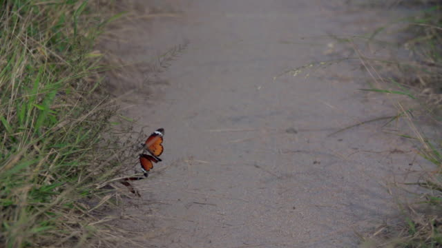 MS SLO MO View of Butterflies flying and sucking nectar from flower / Kruger National Park, Mpumalanga, South Africa
