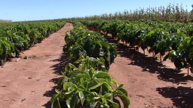 ws tu view of cafe and beans plantation at farm / goias, brazil - cereal plant video stock e b–roll