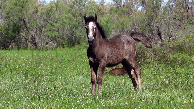 WS SLO MO View of camargue horse foal shaking on field / Saintes Marie de la Mer, Camargue, France