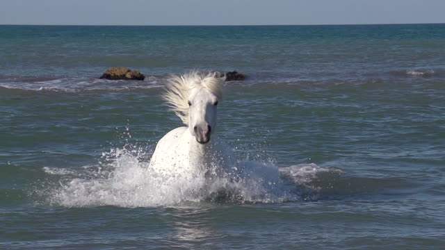 WS SLO MO View of camargue horse galloping in sea / Saintes Marie de la Mer, Camargue, France