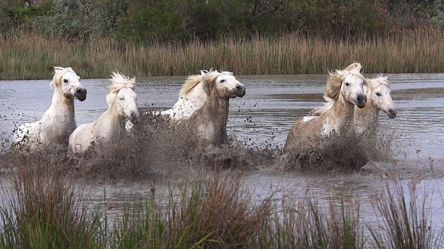 ws slo mo view of camargue horse herd galloping through swamp / saintes marie de la mer, camargue, france - medium group of animals stock videos & royalty-free footage