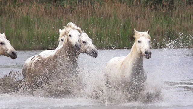 WS SLO MO ZI View of camargue horse herd galloping through swamp / Saintes Marie de la Mer, Camargue, France