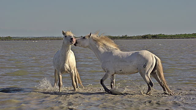 WS SLO MO View of Camargue Horses Stallions fighting in Swamp / Saintes Marie de la Mer, Camargue, France