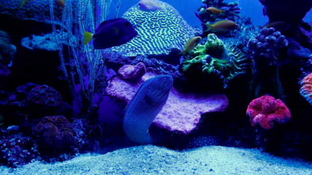 view of camouflaged moray eel in aquarium with coral reef in background , israel - moray eel stock videos and b-roll footage