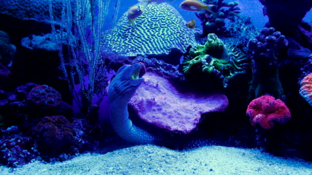 view of camouflaged moray eel in aquarium with coral reef in background , israel - camouflage stock videos & royalty-free footage